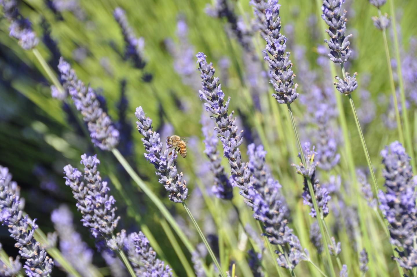 Purple plant is on the defensive | Lavender is more than just a nice smelling and calming plant