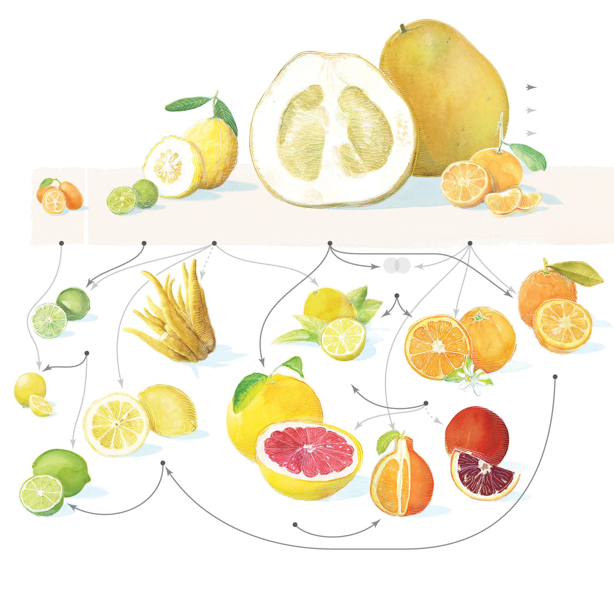 The Citrus Family Tree