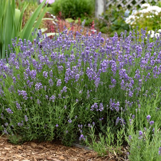 The highly rated 'Munstead' English lavender can be found at garden centers or it can be grown from seed.