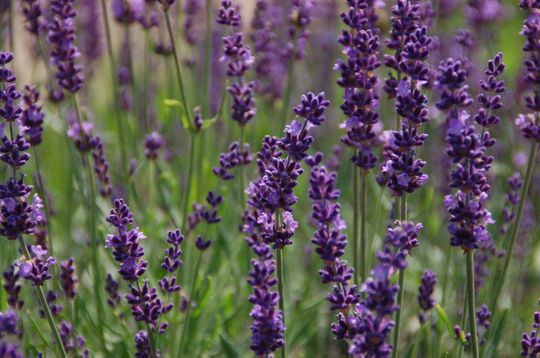 A newer introduction, the French lavender Phenomenal rated well in Chicago Botanic Garden's evaluations and is available at area garden centers.