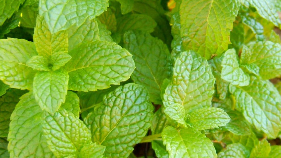 Peppermint vs. Spearmint: What's the Difference? | Mental Floss
