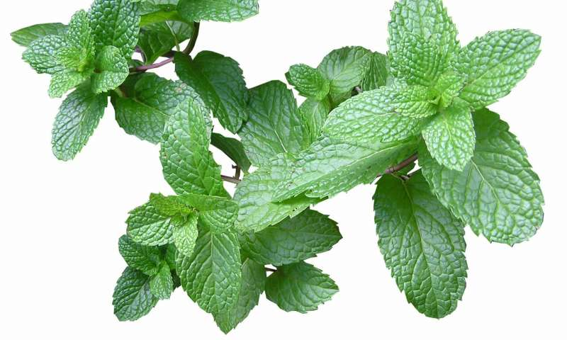Mint scent inhibits the growth of weeds | Phys.org