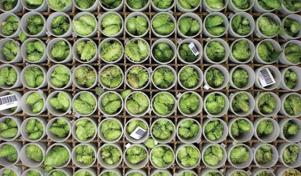 Hop plant cultivars from Yakima Valley