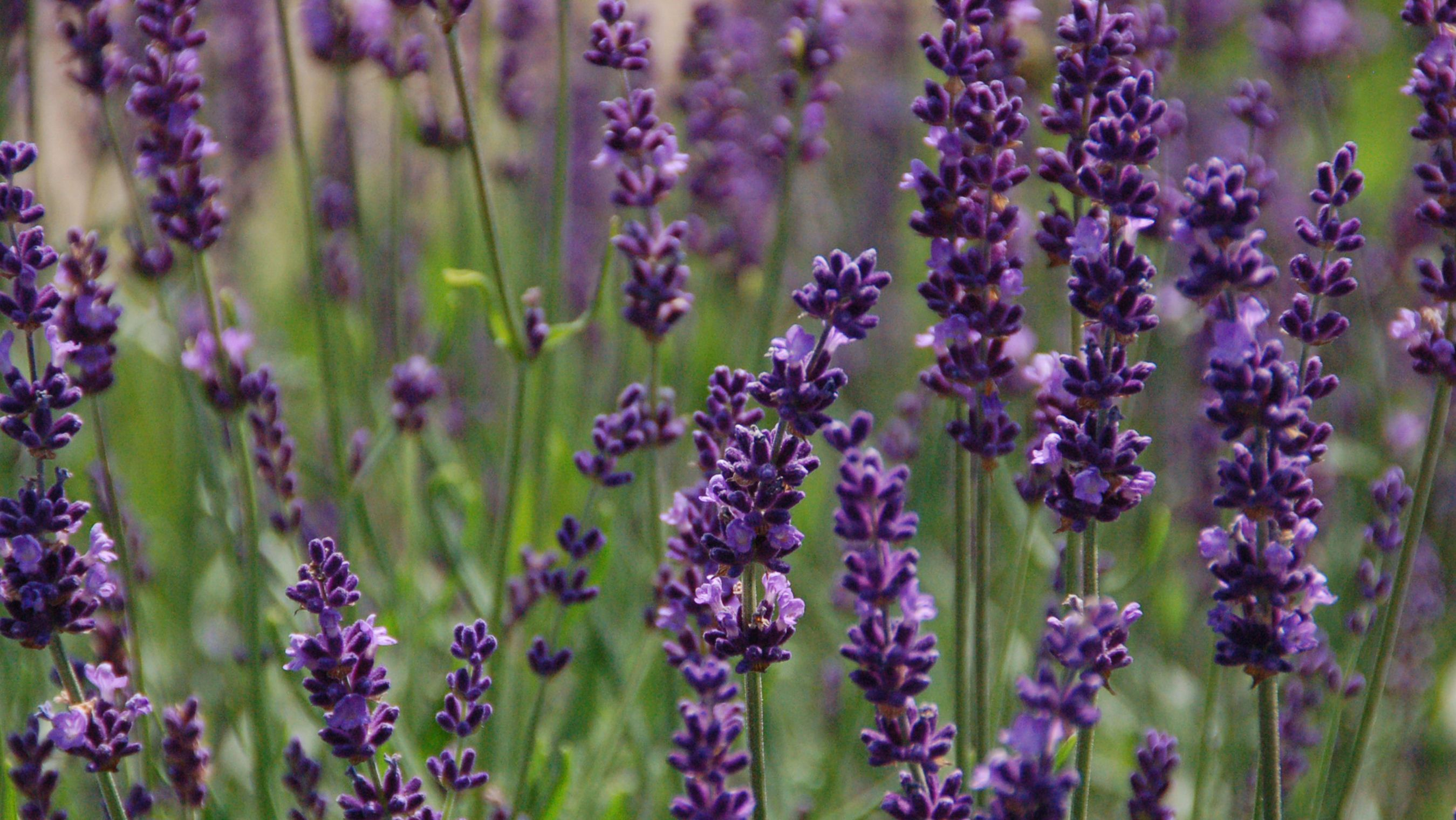 Gardeners love lavender for scent, flavor | The Hoosier Gardener