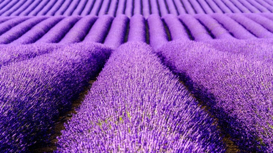 The smell of lavender is relaxing, science confirms   Blog.Frontierin