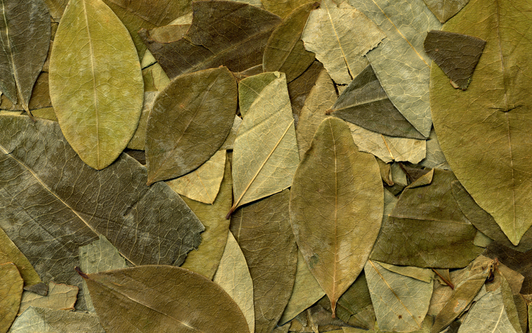 'This is a whole new flavor chemistry': Coca leaf extract improves the taste of diet cola | Food Navigator