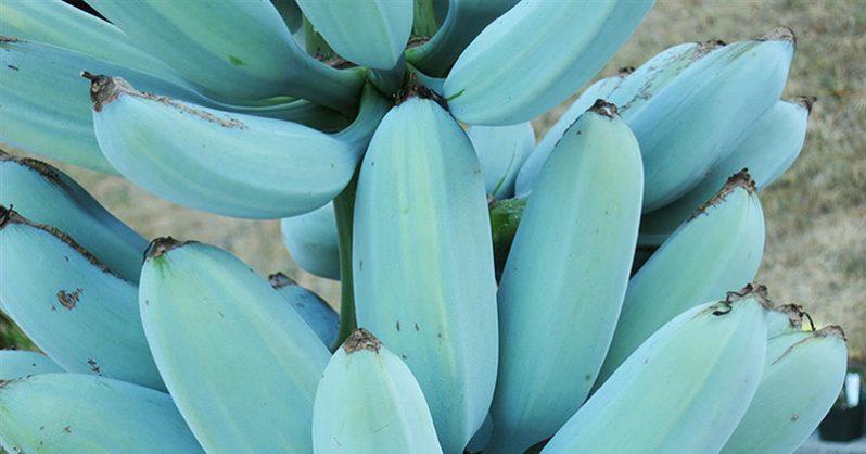 Blue Java Banana: The Banana That Tastes 'Just Like Vanilla Ice Cream' | The Hearty Soul