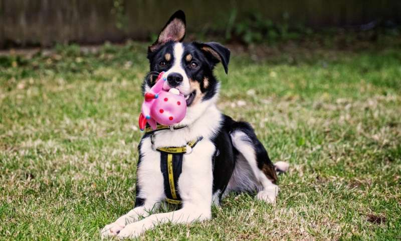 Study shows how dogs can benefit from scented toys | Phys.org