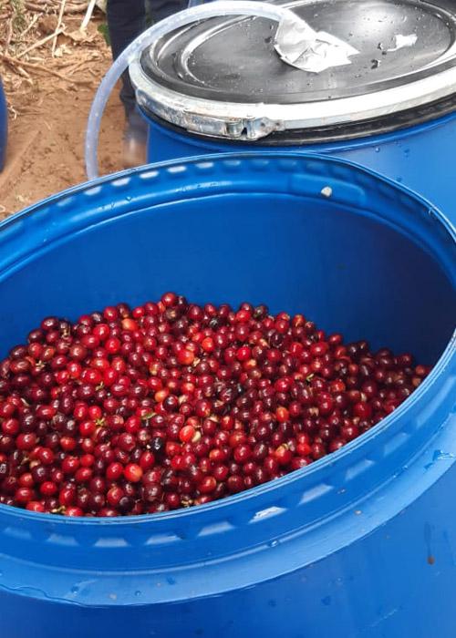 Anaerobic Coffee Algrano beans
