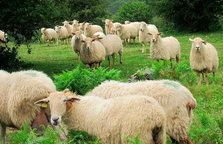 Decline in grazing practices threatens the existence of a Basque cheese | Phys.org