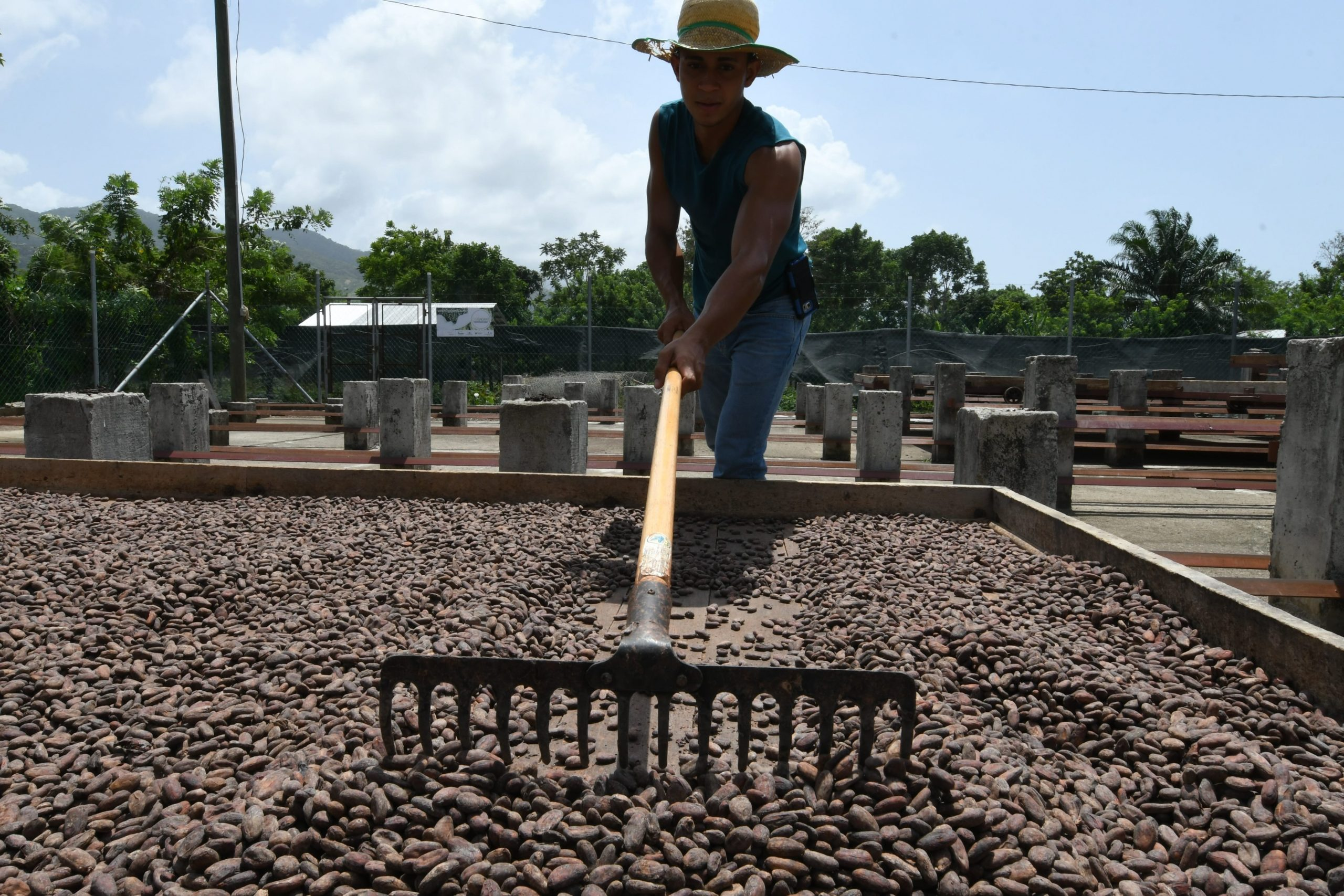 A man in a hat rakes a large tray of drying cacao seeds