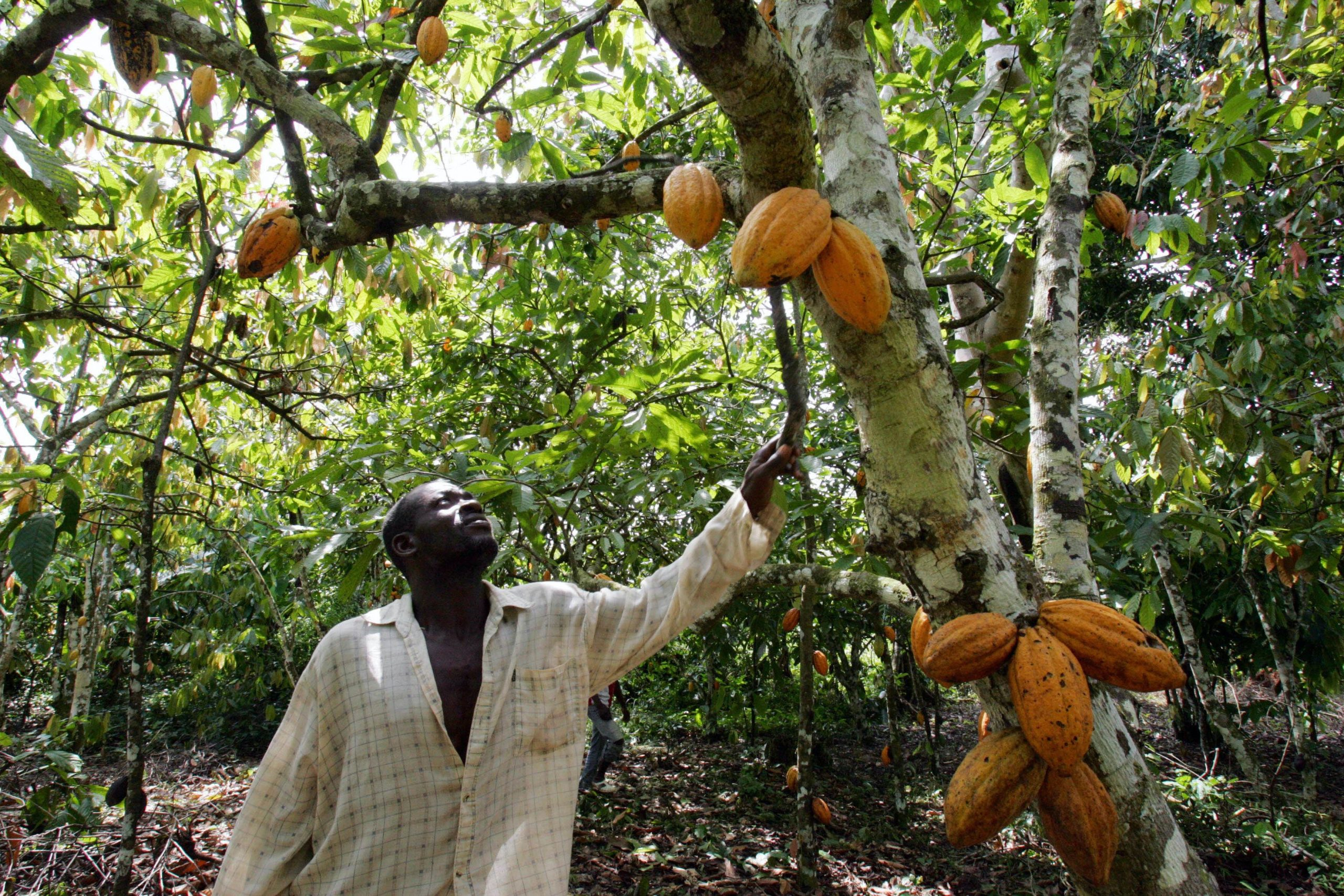 man reaches up toward pods growing from trunk of cacao tree