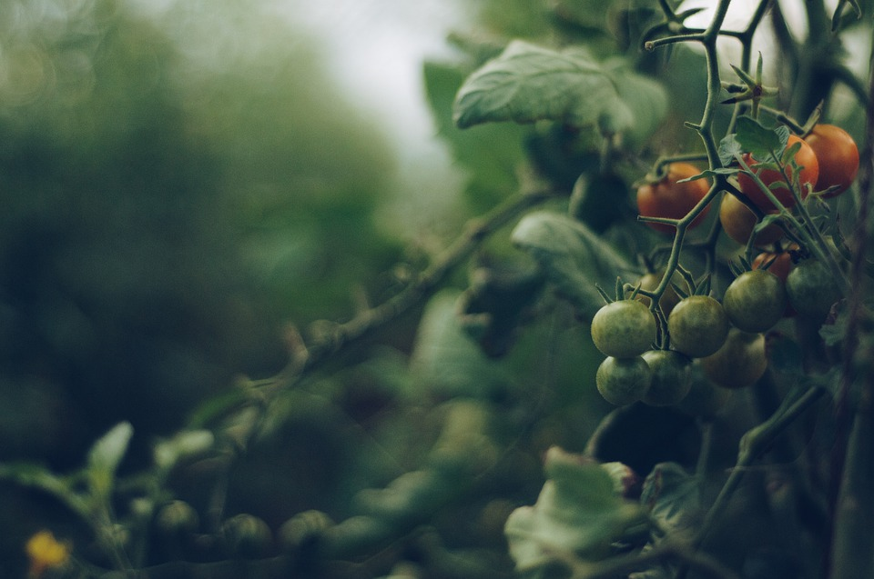 Why do tomato plants smell like that? Hortidaily