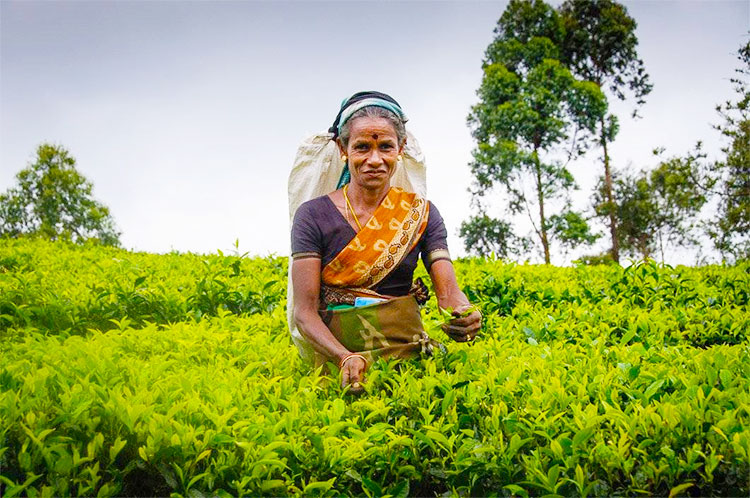 Tea quality seen as seriously affecting prices | The Island