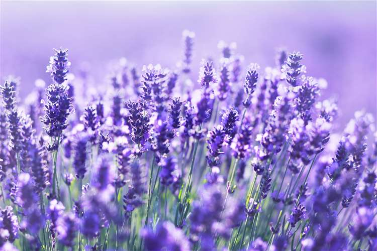 The smell of lavender will deter mating spiders