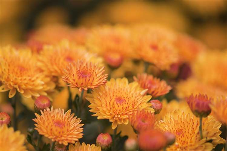 Treating yourself to a bunch of Chrysanthemums will brighten your home and remove spiders at the same time!